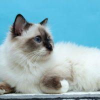 Бирманский кот на синем фоне