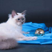 Бирманская кошка лежит возле синей подстилки