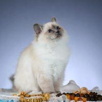Красивая пушистая кошка смотрит вверх
