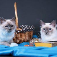 Два красивых кота лежат на синем покрывале
