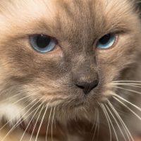Бирманская кошка крупным планом