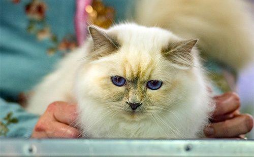 Бирманская кошка с голубыми глазами