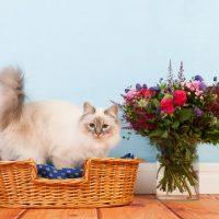 Красивая бирманская кошка в корзине