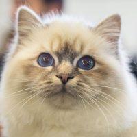 Котенок бирманской породы