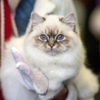 Бирманская кошка с голубымиглазами
