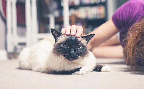 Поглаживание бурманской кошки
