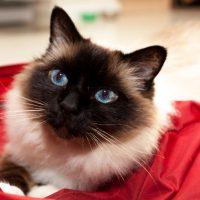 Бирманская кошка с темным окрасом морды