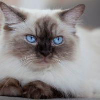 Бирманский кот с голубыми глазами
