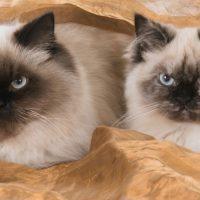 Два бирманских кота