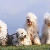 Четыре собаки на лугу