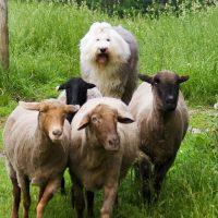Овчарка пасёт овец