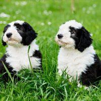 Два щенка в траве