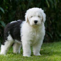 Щенок пастушьей собаки