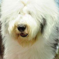 Портрет лохматой собаки