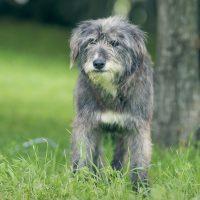 Серьёзный серый пёс