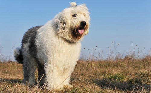 Пастушья собака с причёской
