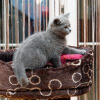 Котёнок британской короткошерстной
