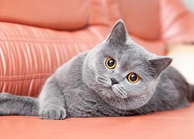 Британская короткошерстная кошка описание породы