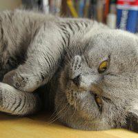 Пушистый кот валяется на боку