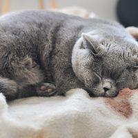 Спящий британский кот