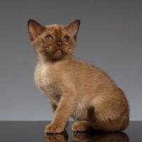 Котенок бурманской породы