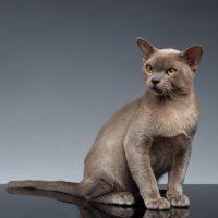 Серый кот Бурма