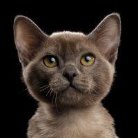 Серый котенок крупным планом