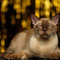 Красивый бурмански кот лежит с закрытыми глазами