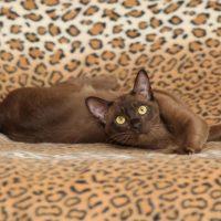 Красивый коричневый кот потягивается на кровати