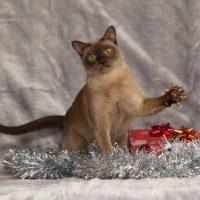 Коричневый кот с поднятой лапой