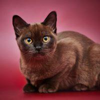 Палевый кот на розовом фоне