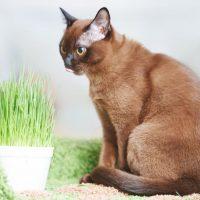 Американская бурманская кошка сидит возле горшка с травой