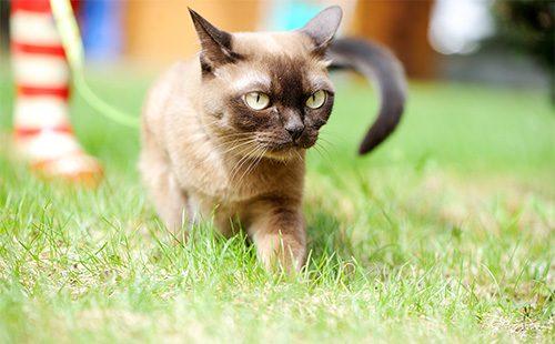 Бурманская кошка гуляет