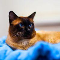 Симпатичная бурманская кошка лежит на синем покрывале