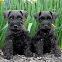 Два щенка среди нарциссов