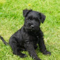 Чёрный щенок в траве