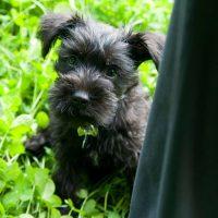 Ушастый чёрный щенок