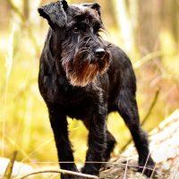 Чёрный пёс в осеннем парке