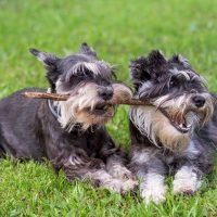 Два щенка играют с палкой