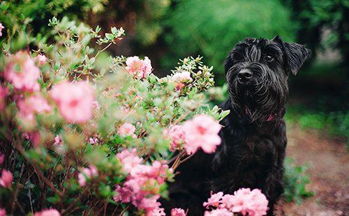 Чёрный пёс у розовых цветов