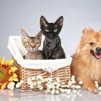 Кошки в корзинке и немецкий шпиц