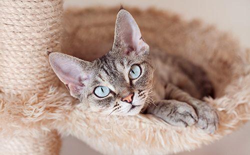 Голубоглазый кот лежит в своём гамачке