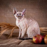 Кошка, колосья и яблоки