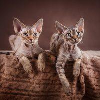 Два породистых котёнка