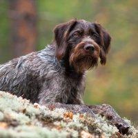 Охотничий пёс на природе