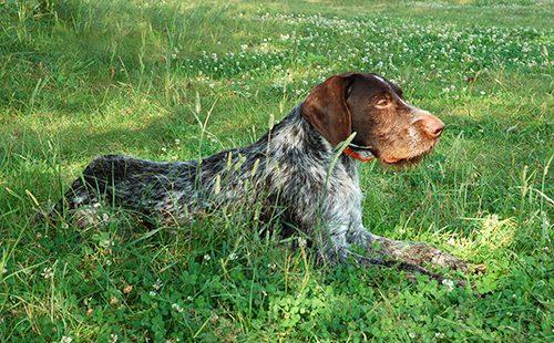 Немецкая жесткошерстная легавая в траве