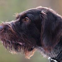 Профиль охотничьего пса