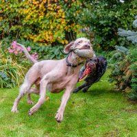 Игры охотничьих собак