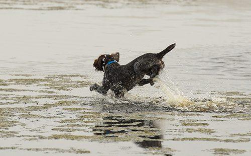 Дратхаар несётся по воде