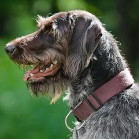 Красивый охотничий пёс
